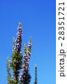 ローズマリー 花 ハーブの写真 28351721