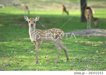 奈良公園の子鹿 28352252