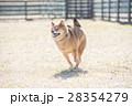 走る柴犬 28354279
