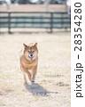 笑顔の柴犬 28354280