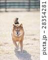 笑顔の柴犬 28354281