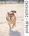笑顔の柴犬 28354282