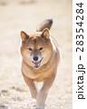 笑顔の柴犬 28354284