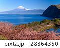 河津桜 富士山 海の写真 28364350