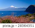 河津桜咲く西伊豆井田から、海越しの冨士山 28364351