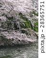千鳥ヶ淵 桜 満開の写真 28365751
