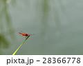 赤とんぼ 28366778