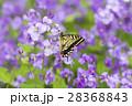 キアゲハ 蝶 花の写真 28368843