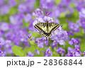 キアゲハ 蝶 花の写真 28368844
