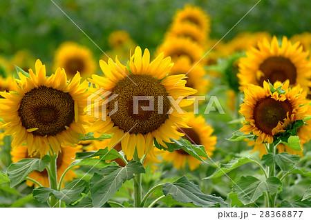 向日葵 ひまわり 28368877