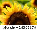 向日葵 ひまわり 28368878