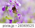 ミヤマセセリ 蝶 花の写真 28369525
