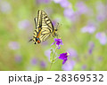 蝶 花 吸蜜の写真 28369532