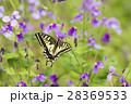 蝶 花 吸蜜の写真 28369533
