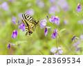 蝶 花 吸蜜の写真 28369534