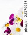 フラワー 花 パンジーの写真 28379956