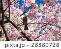 春爛漫 28380728