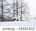 タンチョウ鶴の求愛ダンス(雪煙あげて) 28381832