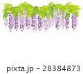 藤 花 植物のイラスト 28384873