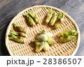 タラの芽 山菜 新芽の写真 28386507