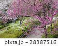 満開の桜 28387516