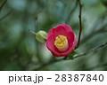 植物 やぶ椿 椿の写真 28387840