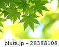 新緑(モミジ) 28388108
