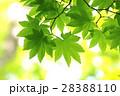 新緑(モミジ) 28388110