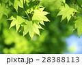 新緑 モミジ 葉の写真 28388113
