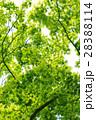 新緑 モミジ 葉の写真 28388114