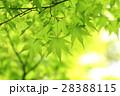 新緑(モミジ) 28388115