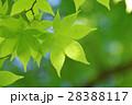 新緑(モミジ) 28388117