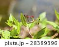 マユタテアカネ あかとんぼ 交尾の写真 28389396