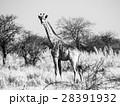 動物 きりん キリンの写真 28391932