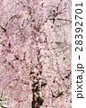 桜 28392701