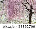 桜 28392709