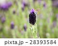 花風景 ラベンダー 28393584