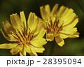 黄色 春 花の写真 28395094