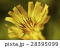 黄色 春 花の写真 28395099