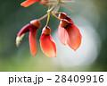 デイゴ アメリカデイゴ 熱帯植物の写真 28409916