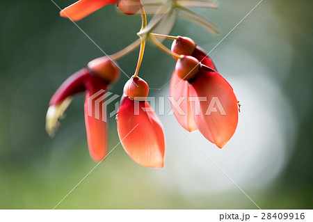 長居植物園の熱帯植物アメリカデイゴ 28409916