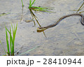 シマヘビ 縞蛇 田んぼの写真 28410944