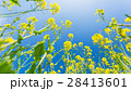 菜の花 28413601