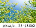 菜の花 28413602