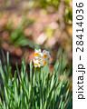 Flowers of Narcissus,in Tokyo,Japan 28414036