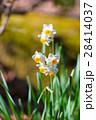 Flowers of Narcissus,in Tokyo,Japan 28414037