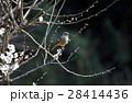 ジョウビタキ 雌 梅の写真 28414436
