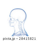 頭部スケルトン, 人の骨 28415821