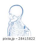 頭部スケルトン, 人の骨 28415822
