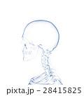 人体スケルトン, 頭部の骨 28415825